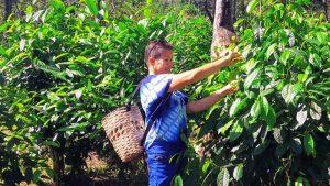 Araksa Tea Garden Chiang Mai