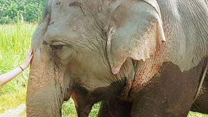 Elephant in Chiang Mai Thailand