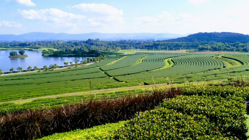 Singha Park Chiang Rai - Tea Fields & Lake