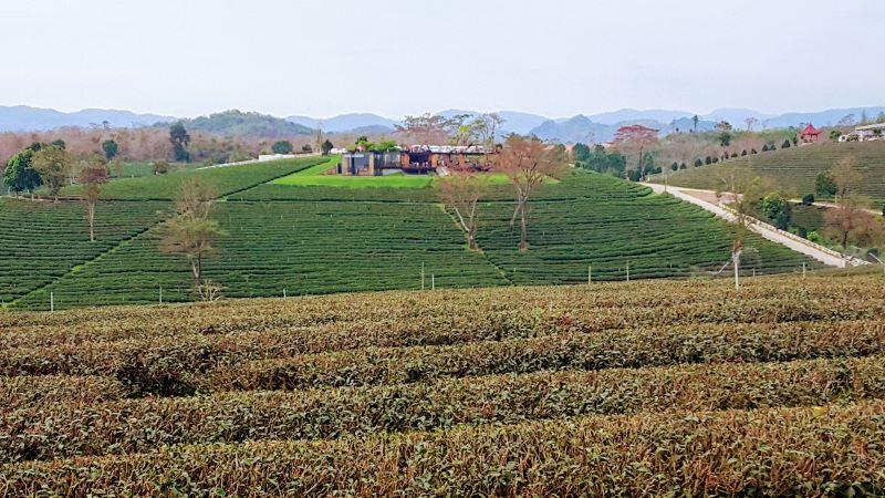Chou Fong Tea Plantation - Scenic Tea Field Views