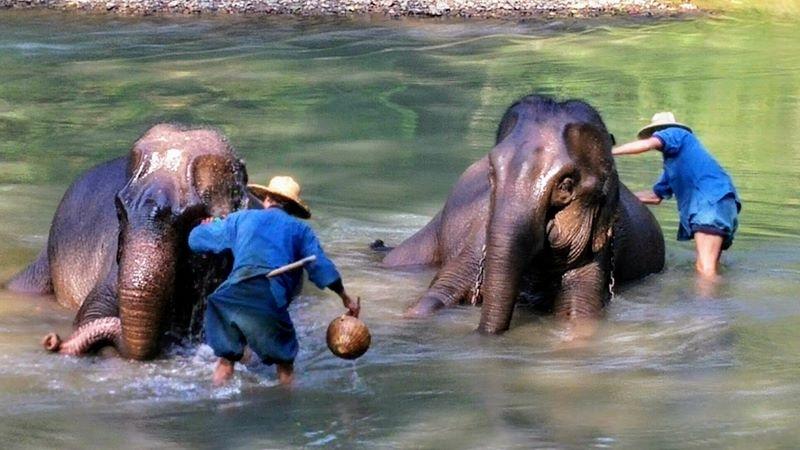 Elephants Bathing in Chiang Mai