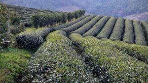 101 Tea Plantation Mae Salong