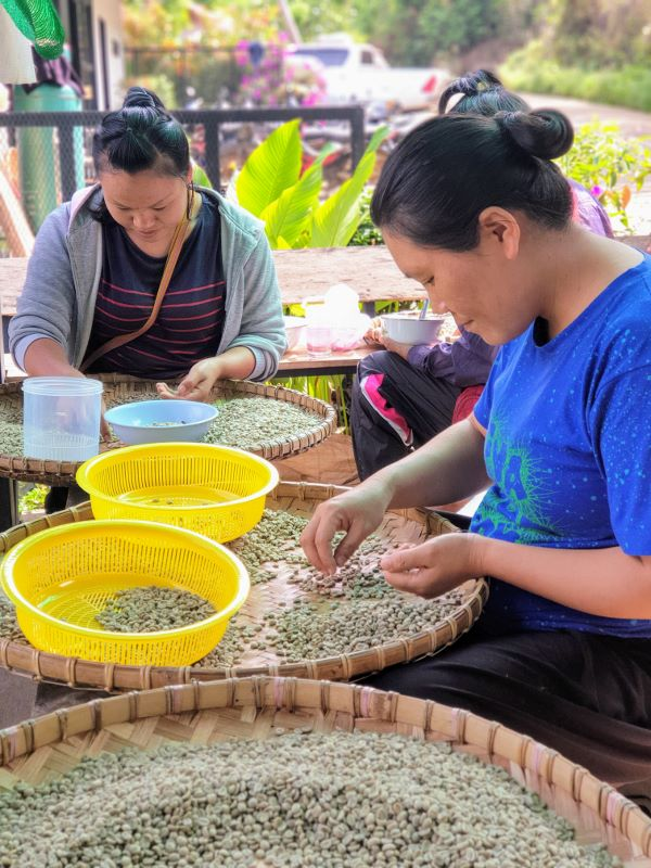 Doi Chang - Coffee Sorting