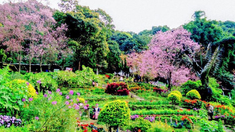 Thai Sakura at Doi Pui