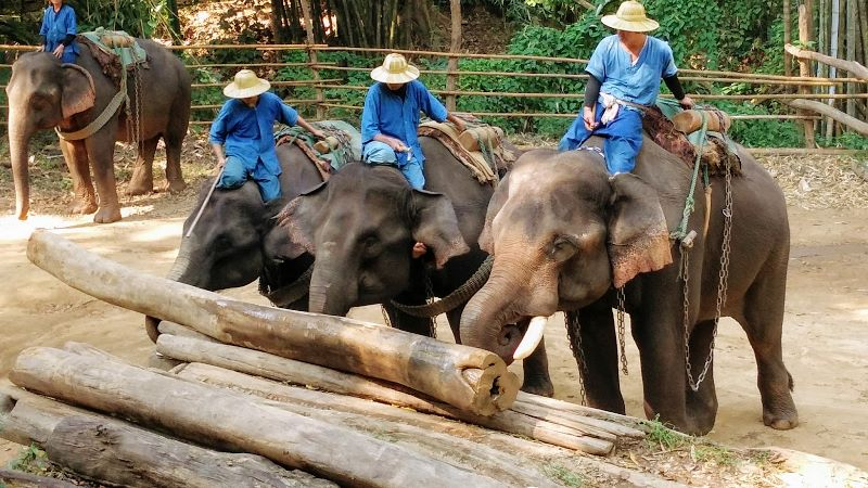 Elephants moving teak logs at Chiang Dao