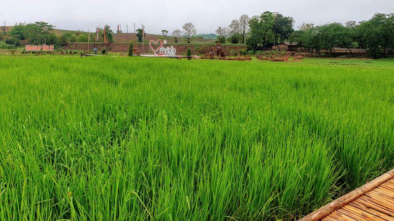 Rice Fields at Inspire Project (Kamlangjai) Chiang Rai