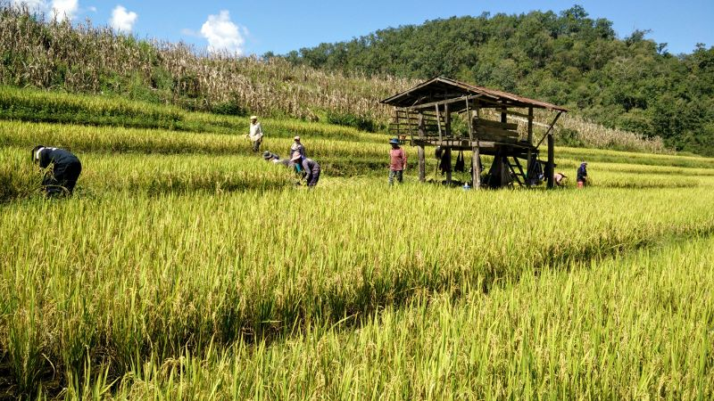 Harvesting Rice in Mae Hong Son