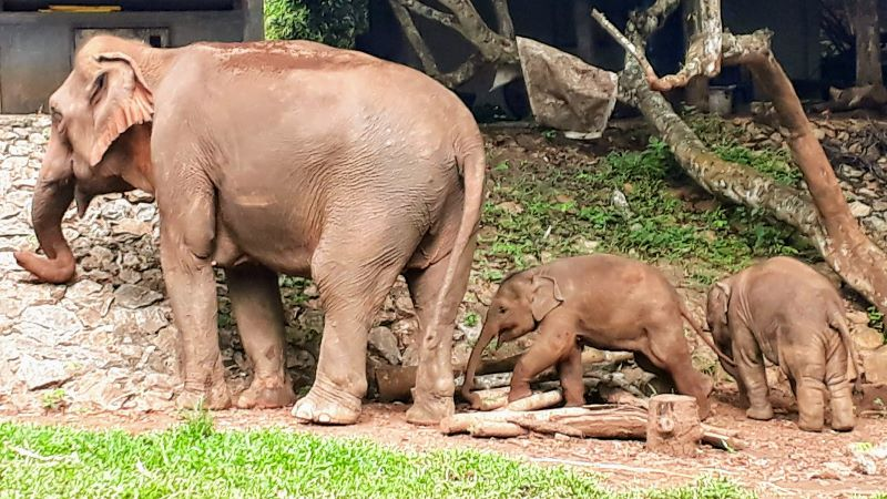 baby elephants with mother in Chiang Mai