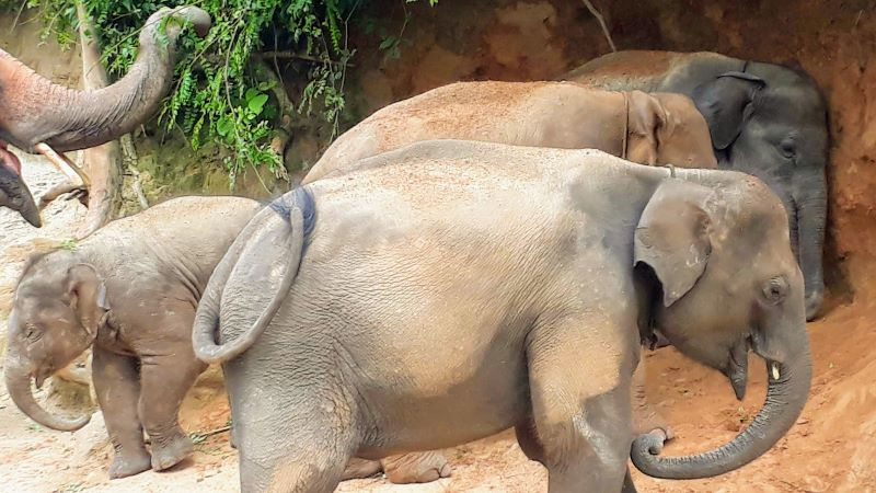 Elephants covering themselves in red clay