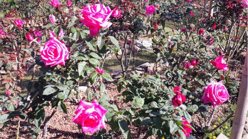 Bhubing Palace Roses