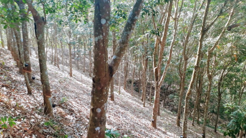 Trekking in rubber plantation at Ban Cha Cho