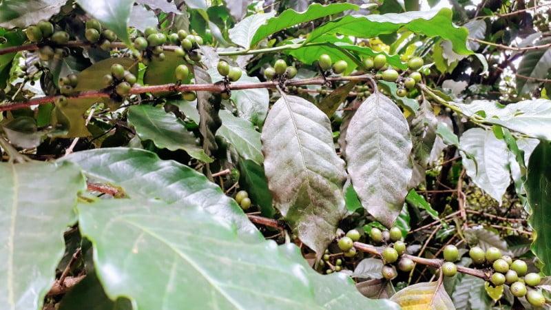 Mae Klang Luang coffee plant