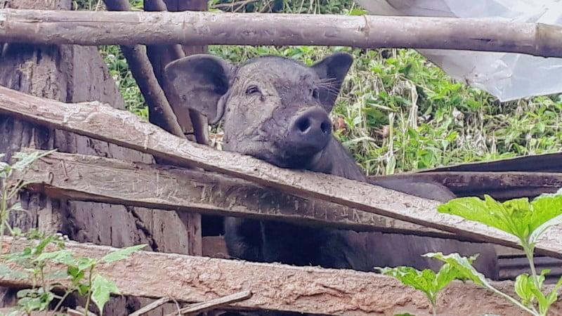 Mae Klang Luang pig
