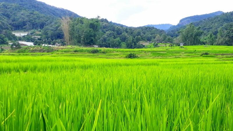 Mae Klang Luang rice field
